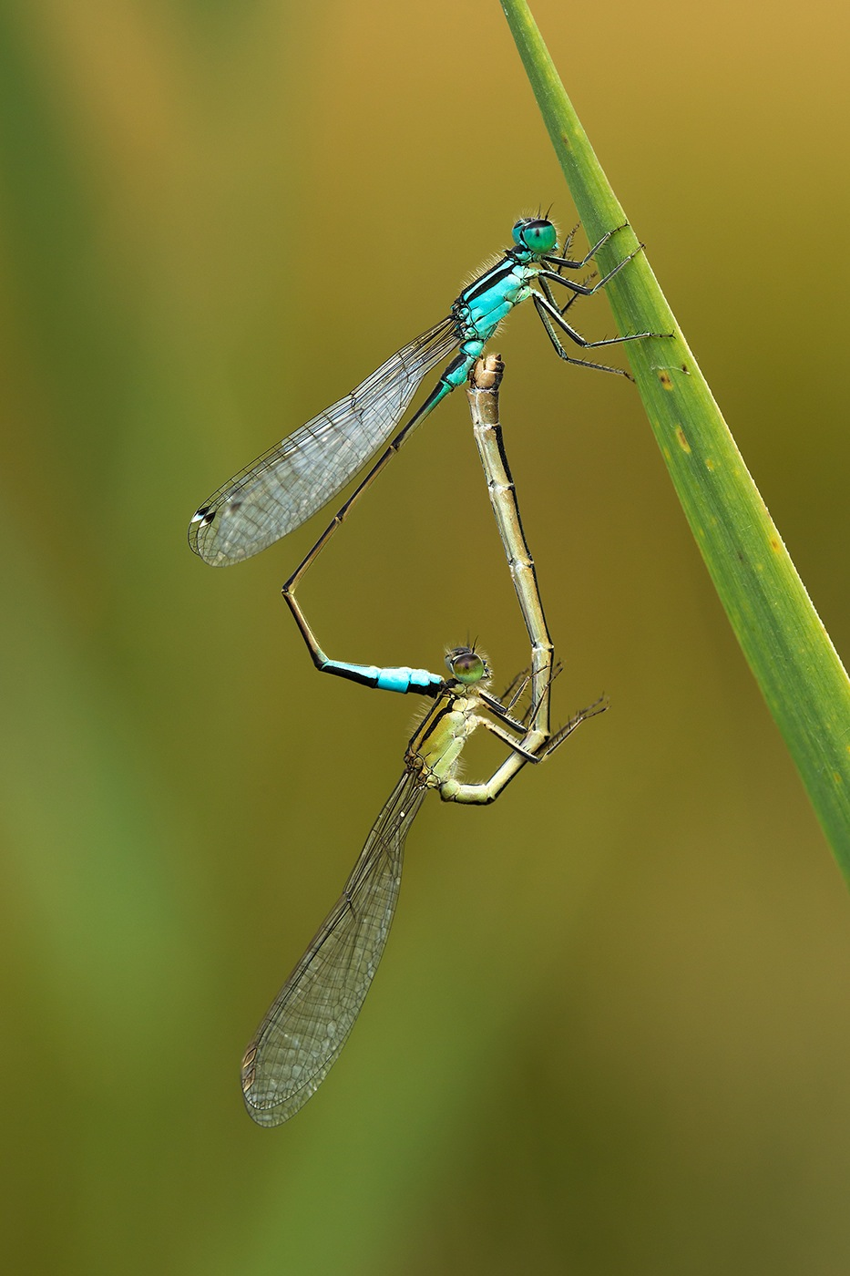 Reproduction d'Agrions élégants (Ischnura elegans)