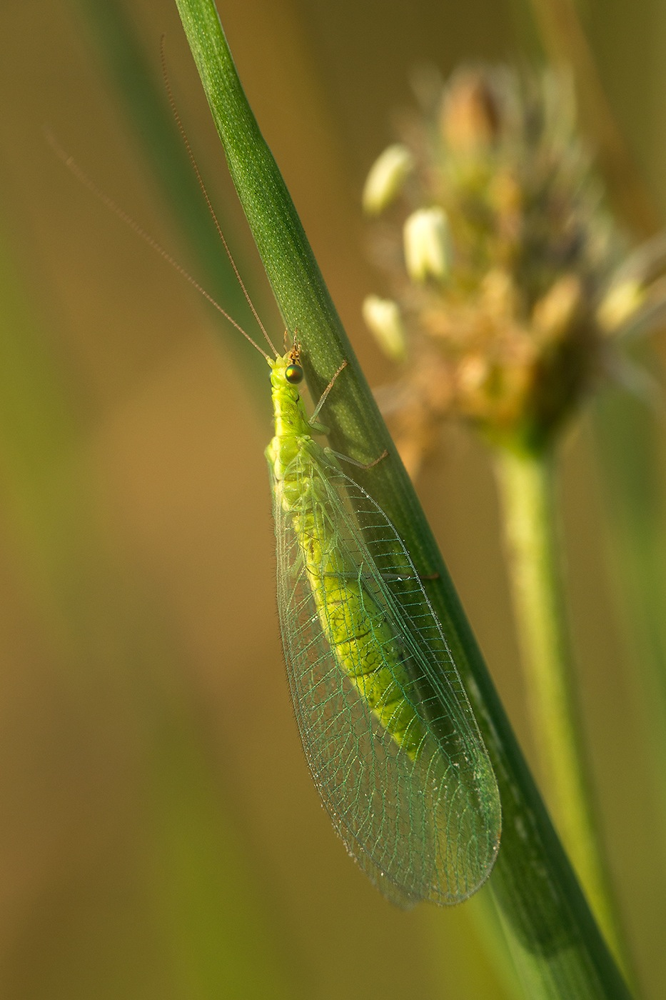 Chrysope Verte (Chrysoperla carnea)
