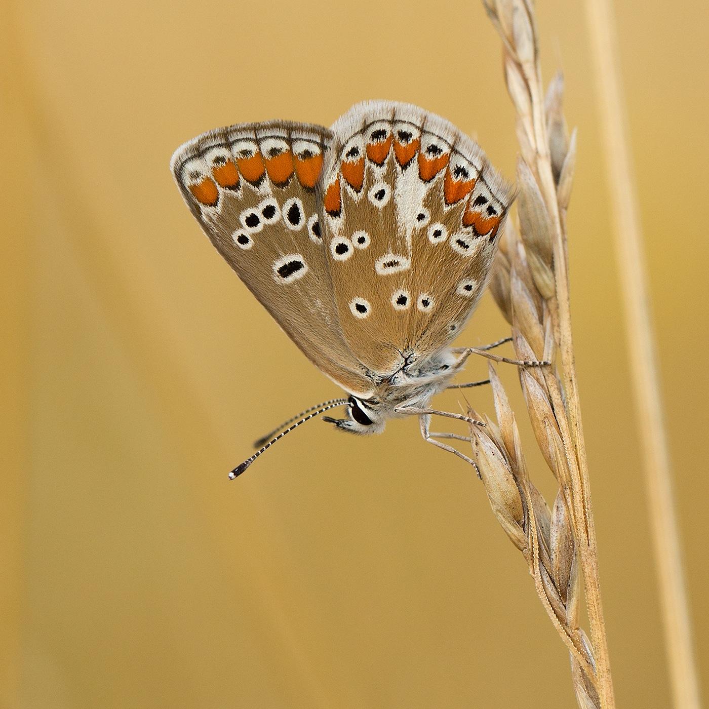 Argus Brun  ou  Collier de Corail (Aricia agestis) - Carré