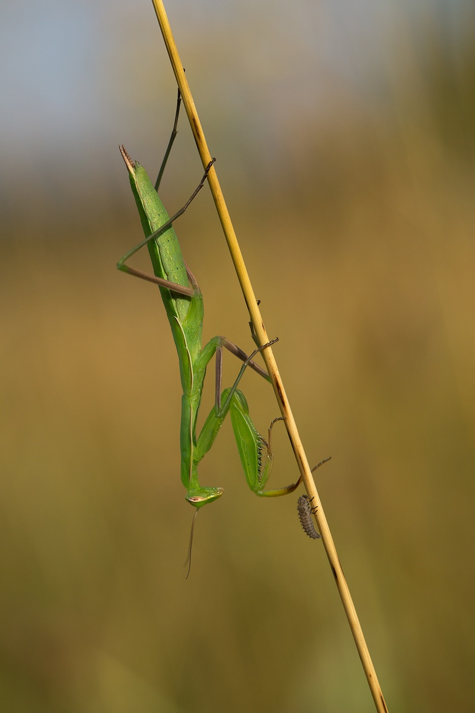 Mante religieuse (Mantis religiosa)  et  larve de coccinelle non