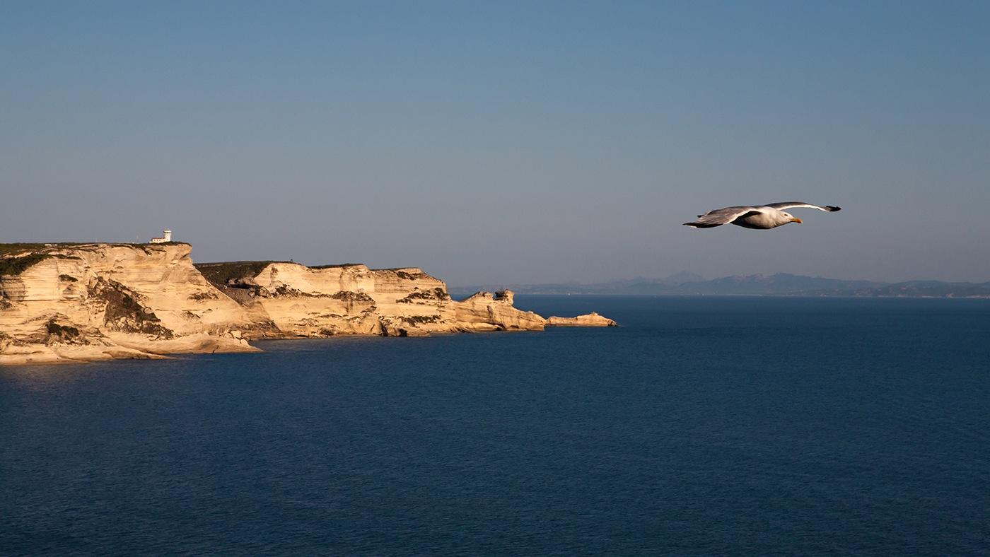 Goëland - Bonifacio - Corse