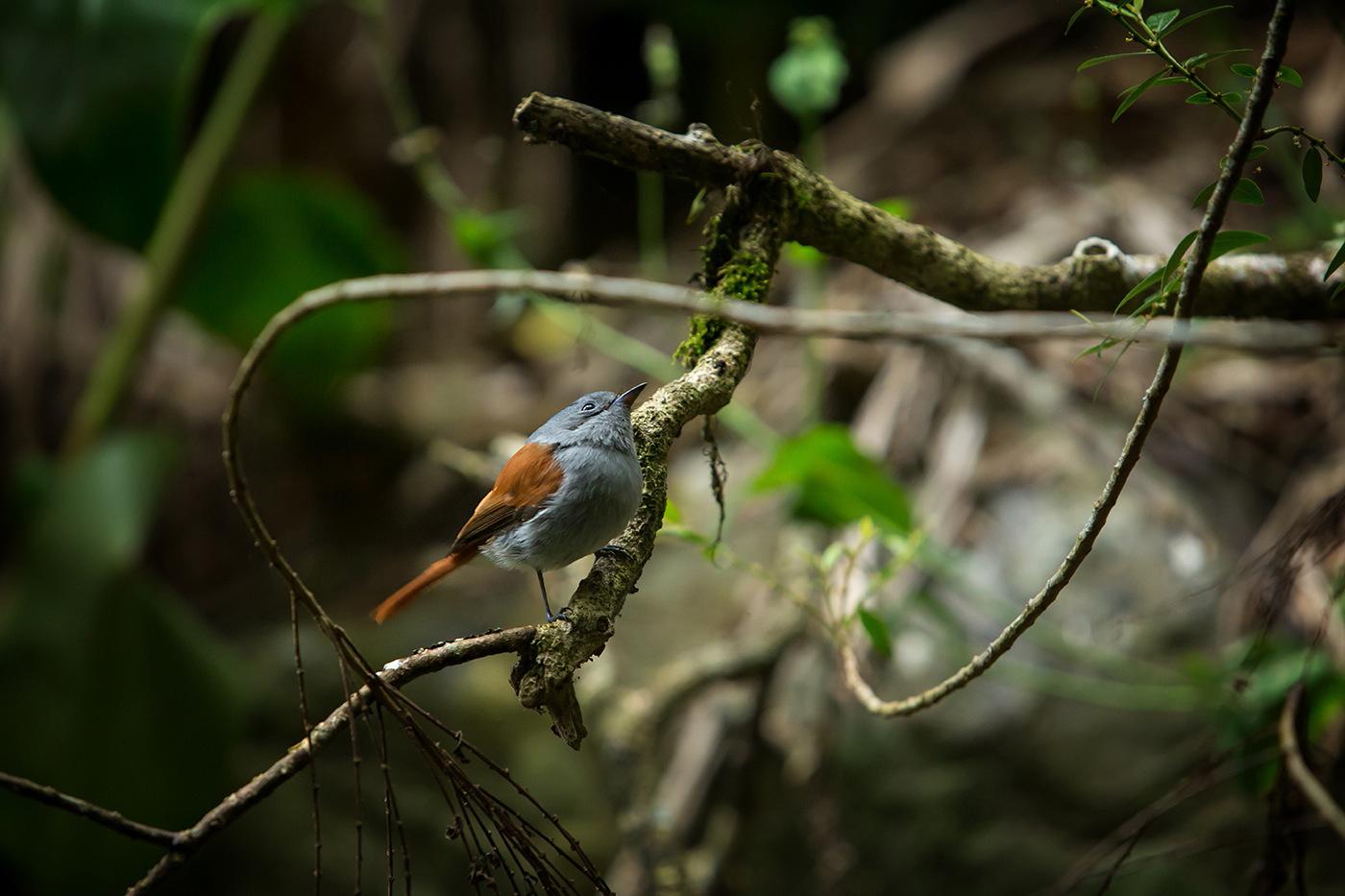 Oiseau la vierge (terpsiphone bourbonnensis)