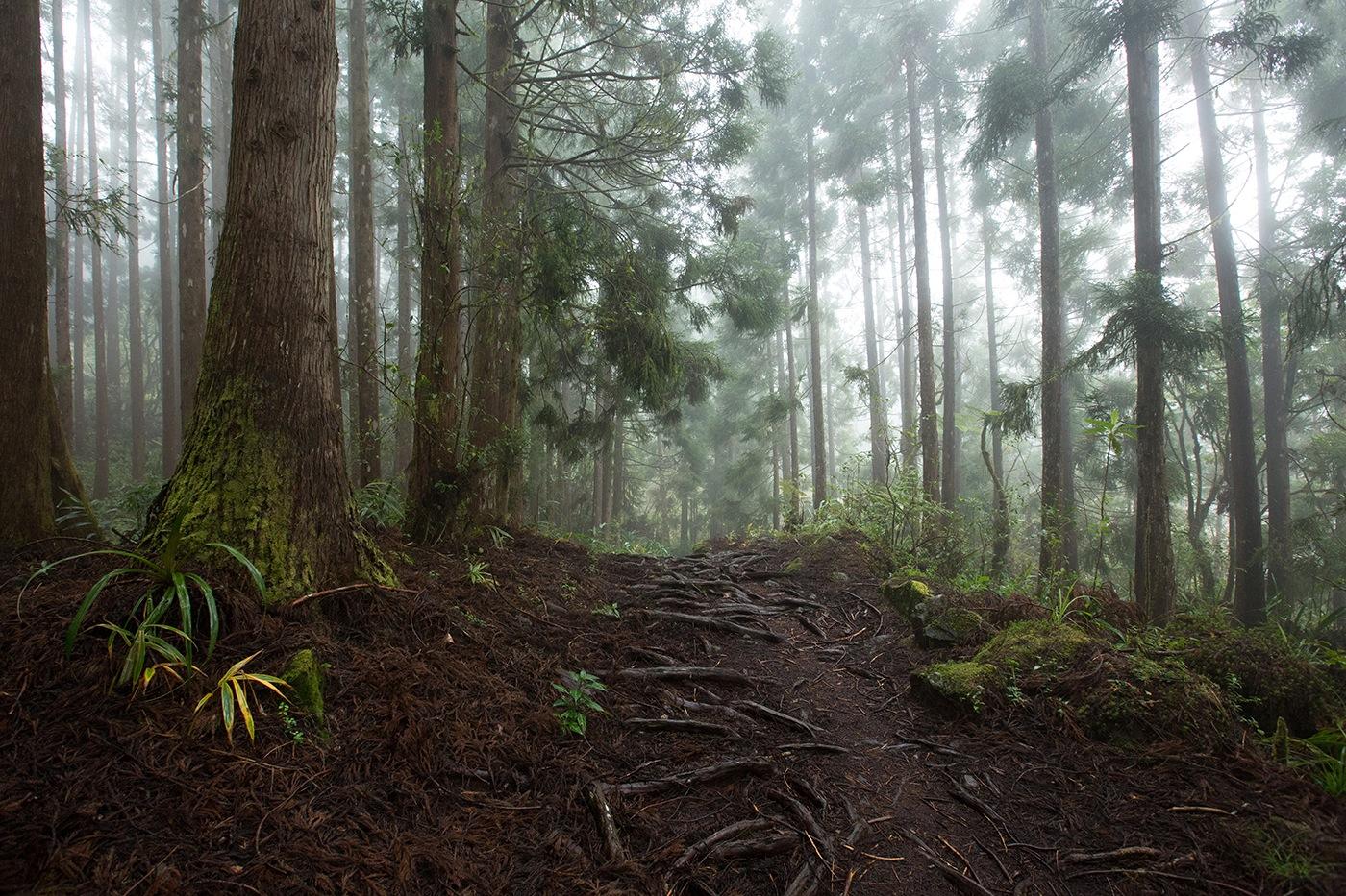 Forêt Cryptomerias