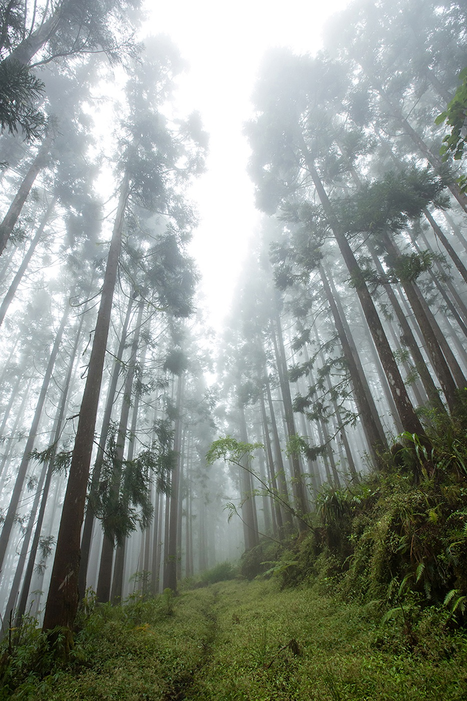 Forêt Cryptomerias verticale