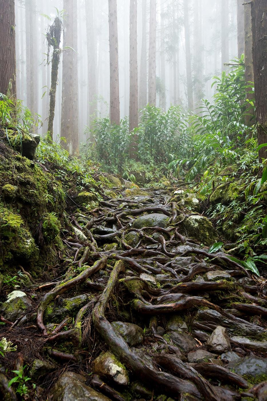 Racines serpentines / Forêt de Cryptomerias