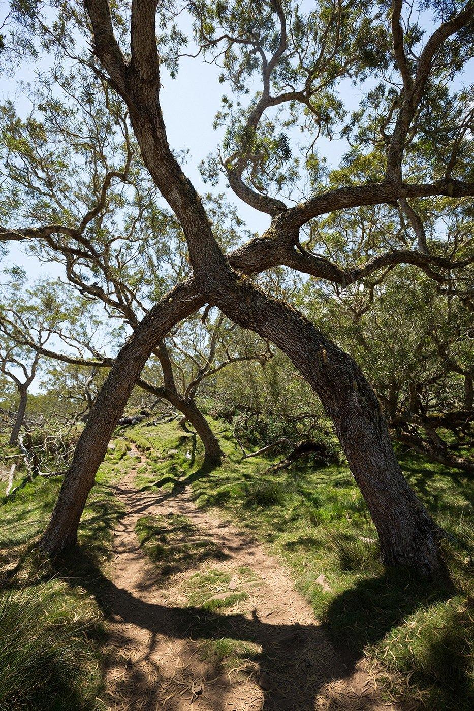 Les arbres amoureux (Plaine des Tamarins)