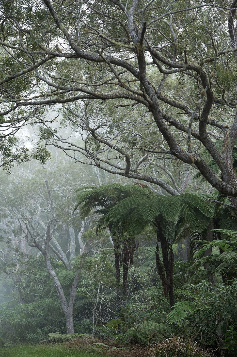 Fougères arboricoles ou Fanjans (Cyathea) - Forêt de Bélouve