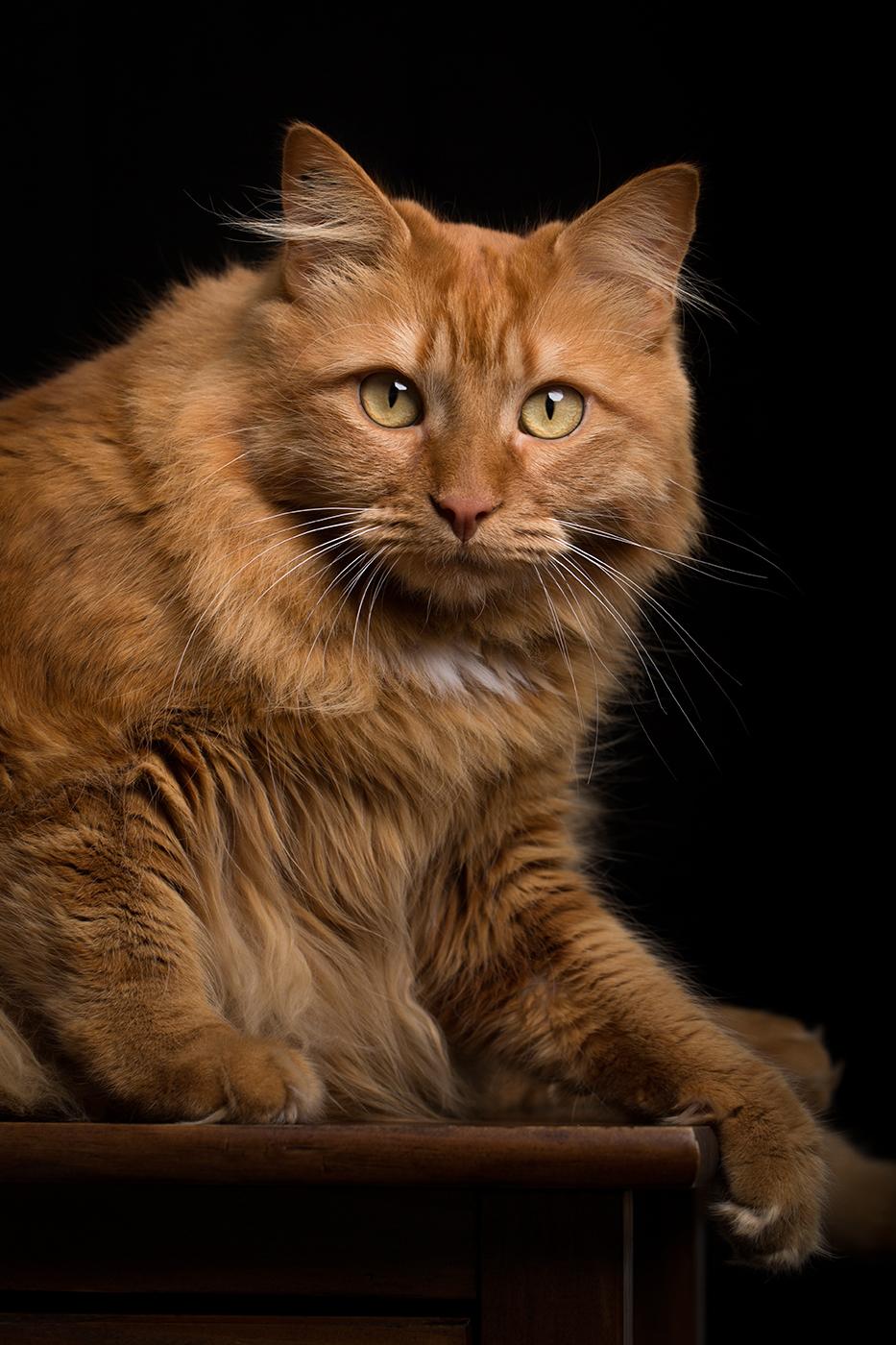 photographe-animaux-domestiques-chat-guillaume-héraud