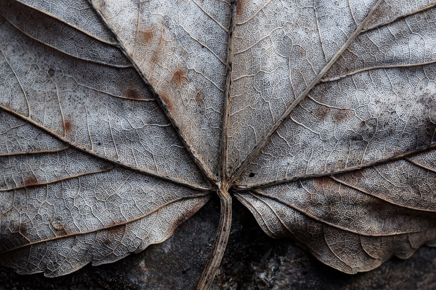Feuille de platanus x acerifolia sur tronc en décomposition.