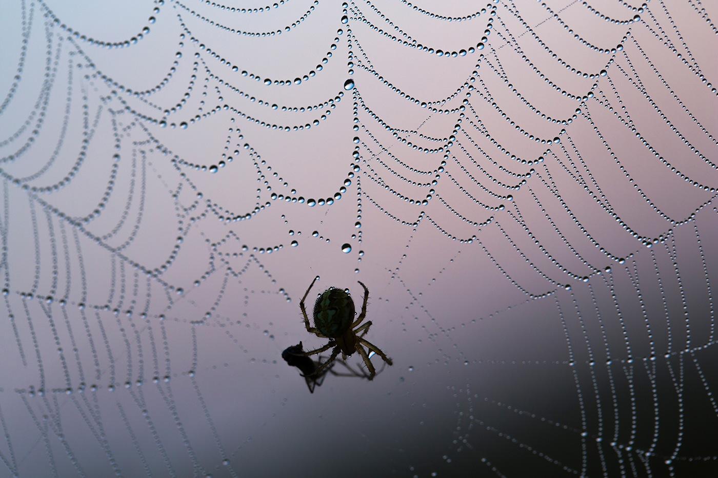 Toile d'araignée Epeire Diadème (Araneus diadematus)