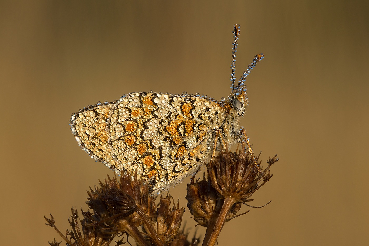 Grand Damier (Melitaea phoebe) - Stacking