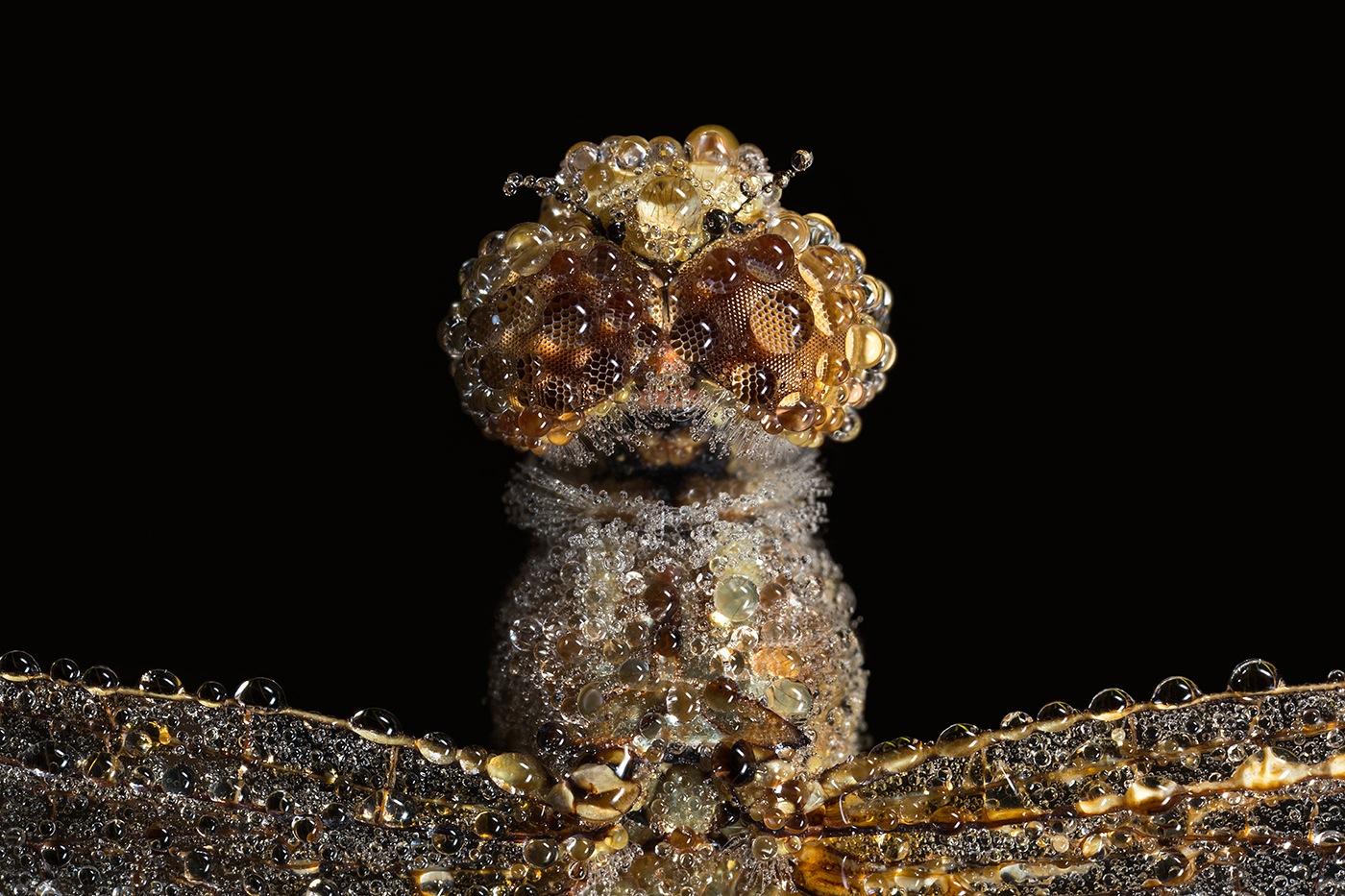 Amber beads - Femelle Sympétrum rouge sang (Sympetrum sanguineu