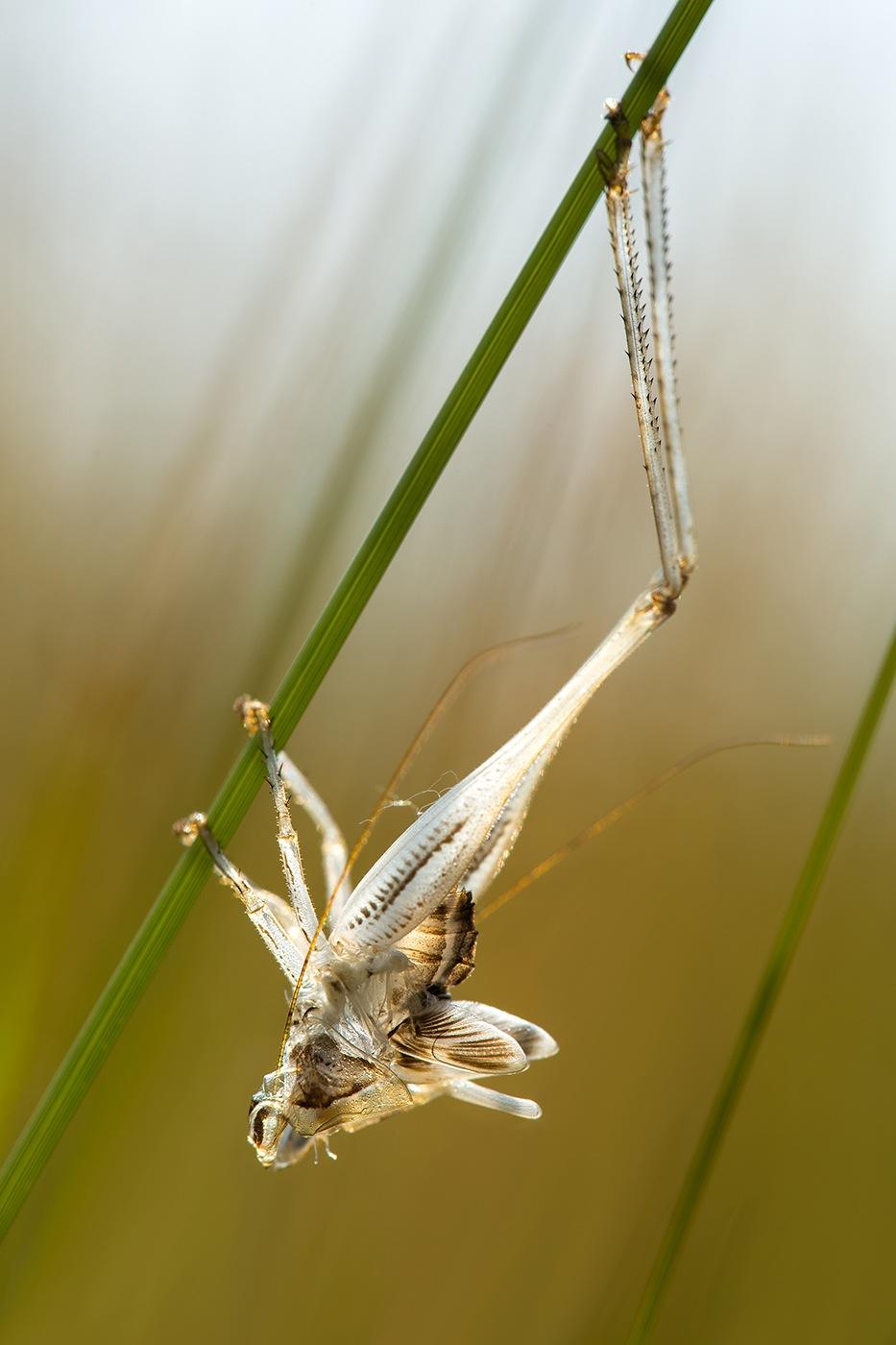 Exuvie de Phaneroptère (Phaneroptera sp.)
