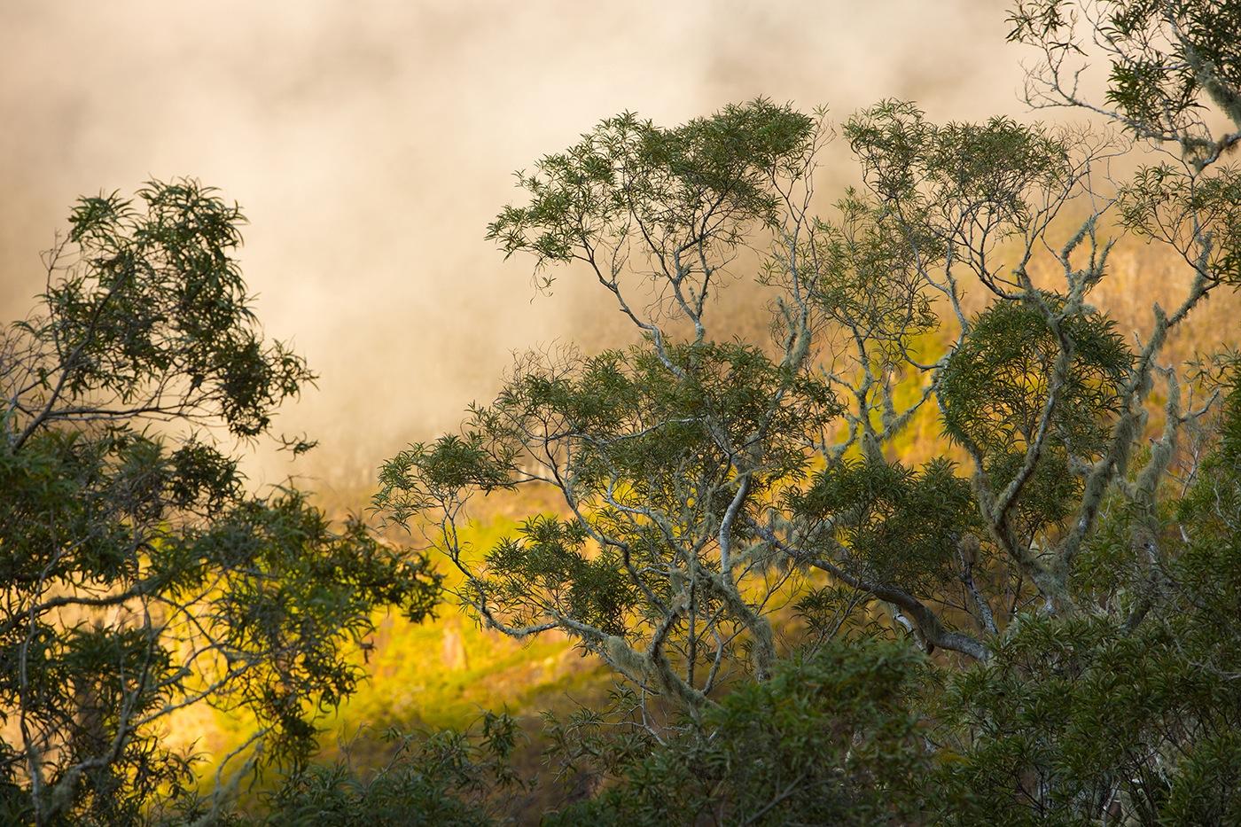 Acacia Heterophylla (Tamarins des hauts) Coucher de soleil sur le plateau du Kerval (Cirque de Mafate - île de la Réunion)Alt. 1770m